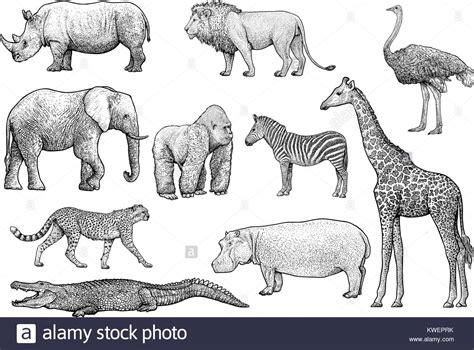 lion  elephant stock  lion  elephant stock