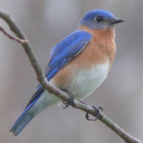 List Of Birds Of Missouri Wikipedia