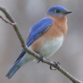File:Eastern Bluebird-27527-2.jpg - Wikipedia