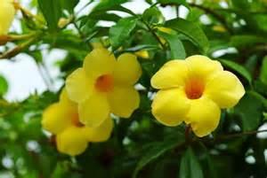 Yellow Hawaiian Tropical Flowers