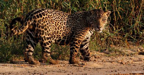 A Male Jaguar - Biofaces - Bring Nature Closer