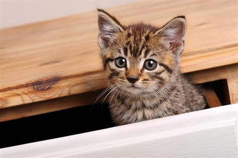 cats kitten dangerous hide places cat tabby kittens which food pets4homes household items pencils table catster than