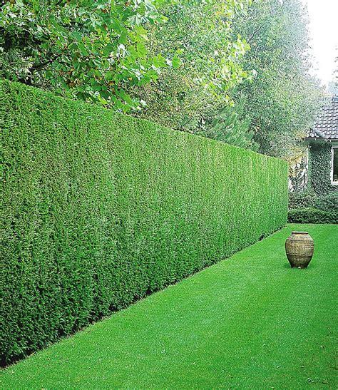 hecke immergrün winterhart leyland zypressen hecke 1 pflanze g 252 nstig kaufen