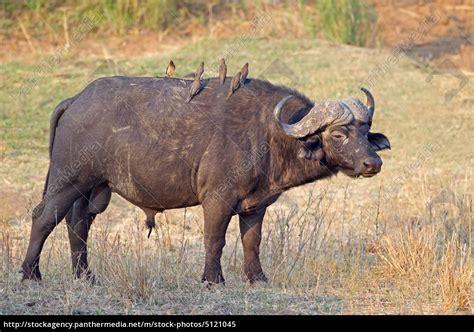 afrikanische bueffel stier stockfoto