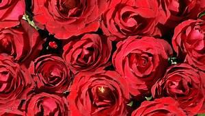 Hornspäne Für Rosen : die 94 besten rosen hintergrundbilder f r tumblr ~ Eleganceandgraceweddings.com Haus und Dekorationen