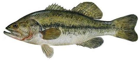 largemouth bass species information fisheries fish