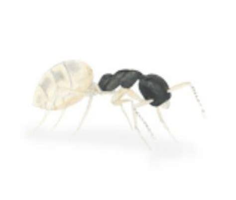ant species  australia rentokil pest control