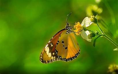 Butterfly Desktop Plain Wallpapers Tiger Background Resolution