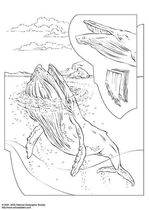 malvorlage buckelwal ausmalbild