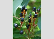 sassafras fruit Flickr Photo Sharing!