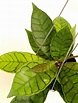 1 pot, 4-5 inches rooted plant of Hoya callistophylla short leaves [N090802]   eBay