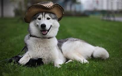 Husky Siberian Dog Temperament Training Huskies Puppy