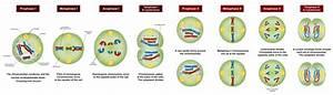 What Are The Differences Between Meiosis I And Meiosis Ii