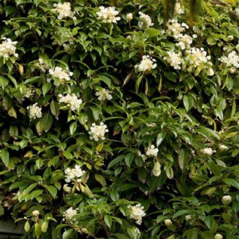 Hydrangea Seemannii Evergreen Climbing Hydrangea