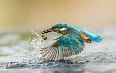 Kingfisher Fish Bird Desktop Caught