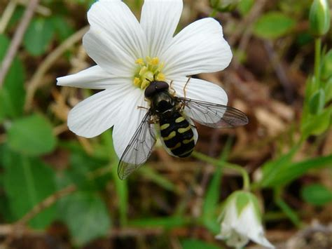 Hoverfly (Metesyrphus luniger)   This hoverfly is ...