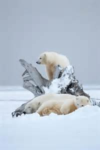 Winter Polar Bears in the Snow