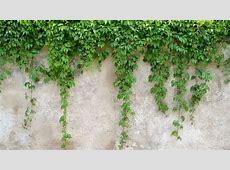 Como plantar y cuidar una enredadera de forma fácil