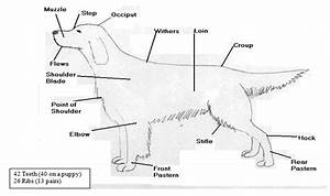 Anatomy  Points Of A Dog