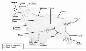 Anatomy  Points Of A Dog