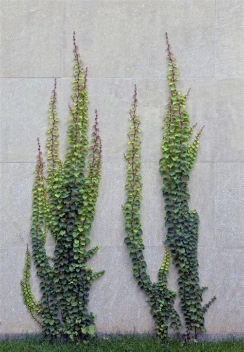 creeping fig  wall  window planting