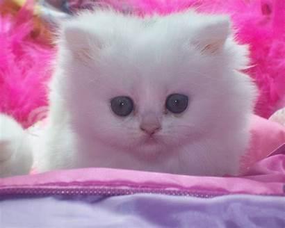 Cats Cat Kitten Pink Kittens Wallpapers Kitty