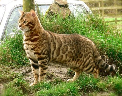 Bengal Cat  Facts, Pictures, Information, Rescue