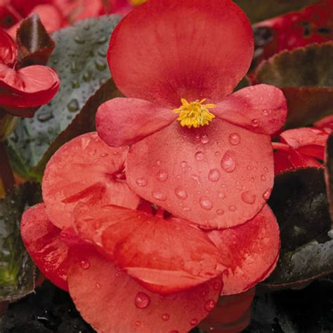 are begonias annuals begonia seeds 12 begonias annual flower seeds