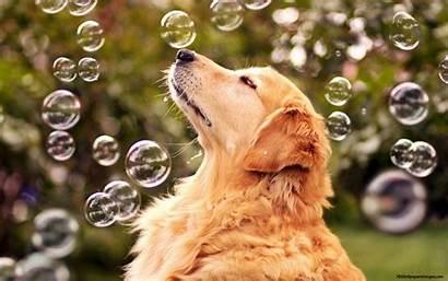 Dog Retriever Golden Honden Desktop Wallpapers Hond