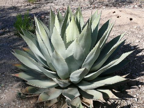 agave picture file huachuca agave jpg wikipedia