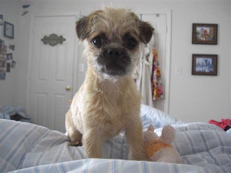 Pugapoo Pug Poodle Mix Info Temperament Puppies