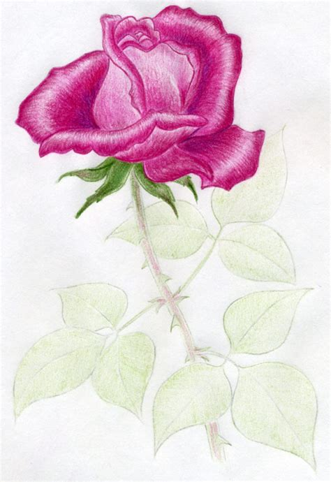 awesome rose drawings  wondrous pics