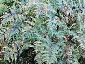 Pflanzen Sonniger Standort : regenbogenfarn athyrium niponicum metallicum staude ~ Lizthompson.info Haus und Dekorationen