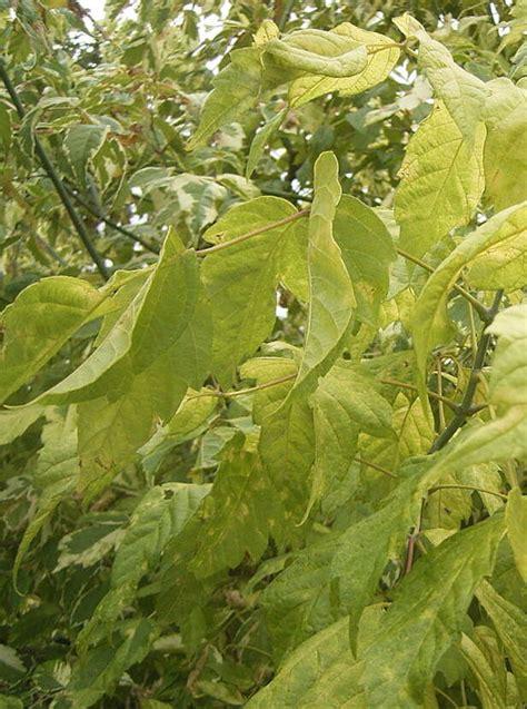Kļava ošlapu Aureomarginatum /Acer negundo Aureomarginatum ...