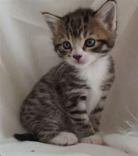 kitten for sale kittens 4 sale black white bengall tabby