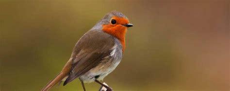 uccelli non volanti pettirosso europeo erithacus rubecula animali volanti
