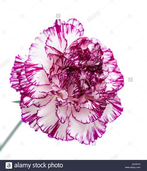 einzelne nelke blume mit ungew 246 hnlichen farbe hell lila