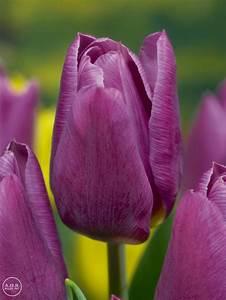 Tulipa Triumph  U0026 39 Copex U0026 39  Tulip From Adr Bulbs