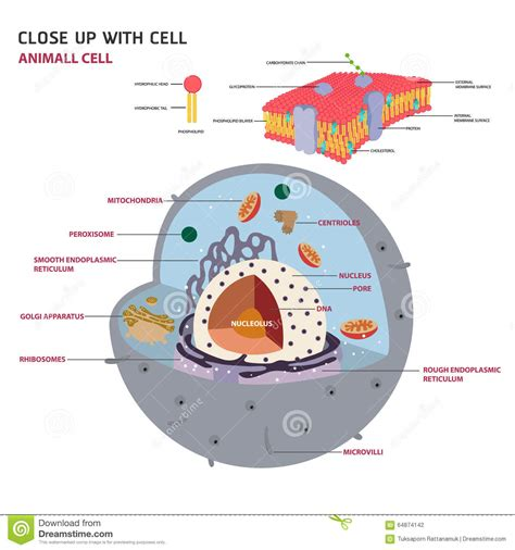 animal cell eukaryotic cell vector stock vector image
