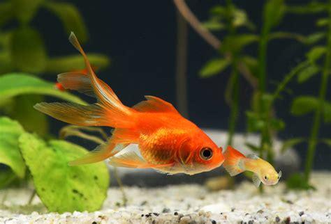 was fressen goldfische pilzbefall beim goldfisch verpilzung bei fischen 187 tierischehelden