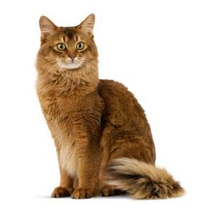 how is a cat for somali royal canin