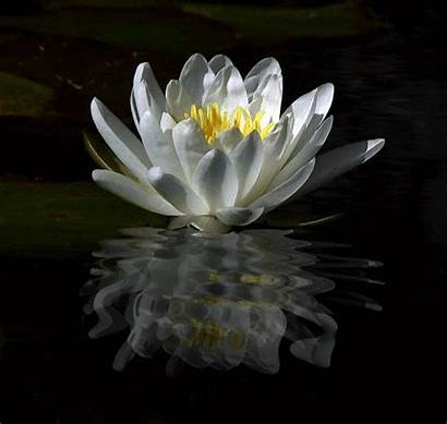 Water Lily Animated Lilies Gifs Lotus Flower