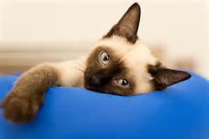 siamese cats facts facts about siamese cats meet the blue eyed