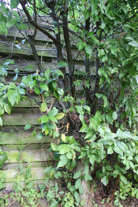 welke fruitboom in de tuin welke fruitboom is dit moestuin forum voor en door