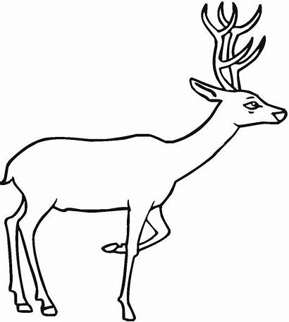 Deer Coloring Pages Wildlife Animals Printable Curious