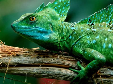 animals green basilisk lizarddesktop wallpaper full