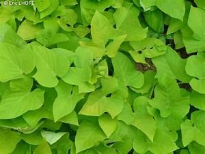 Patate Douce Plante : fiche ipomoea batatas marguerite ~ Dode.kayakingforconservation.com Idées de Décoration