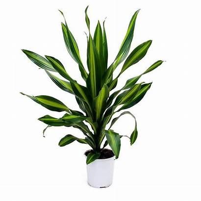 Plants Fragrans Burley Dracaena Hortology