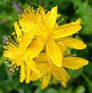 8 Grassland Medicinal Plants You Can Use Painful periods