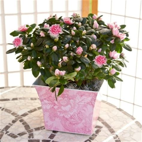 12 best images about arriving 2014 j berry azaleas on